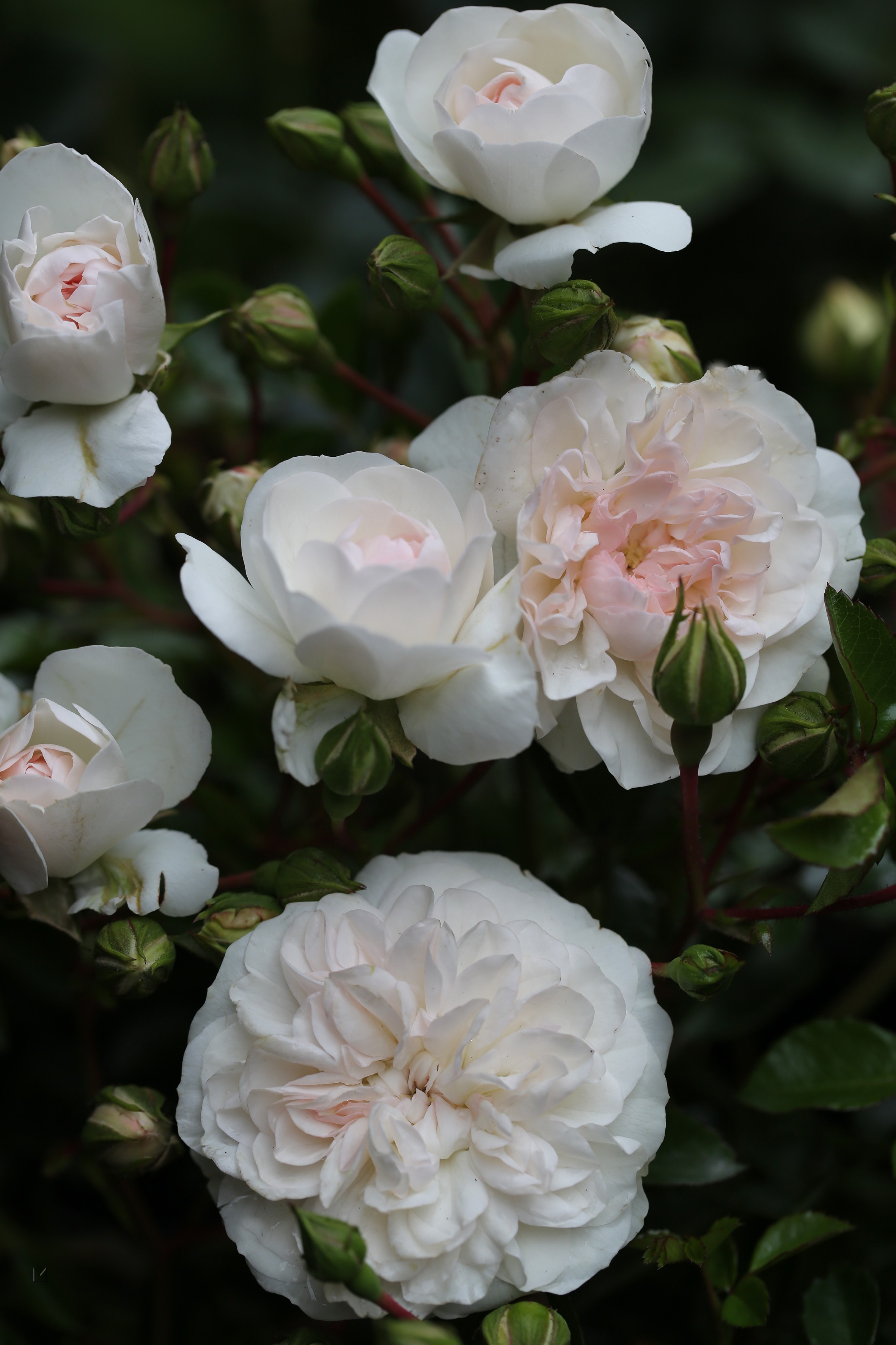 Rosa 'Crystal Fairy'