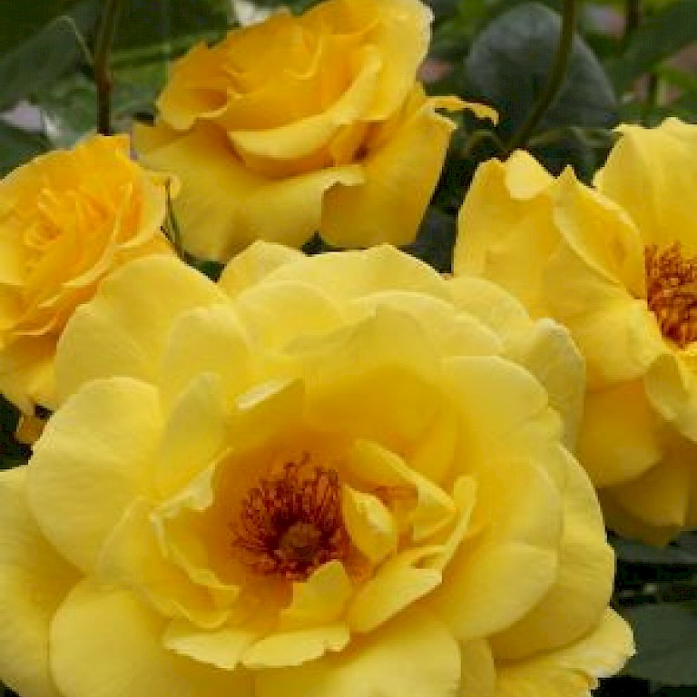 Rosa 'Golden Showers' ®