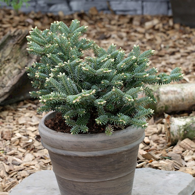 Abies koreana 'Blue Emperor'