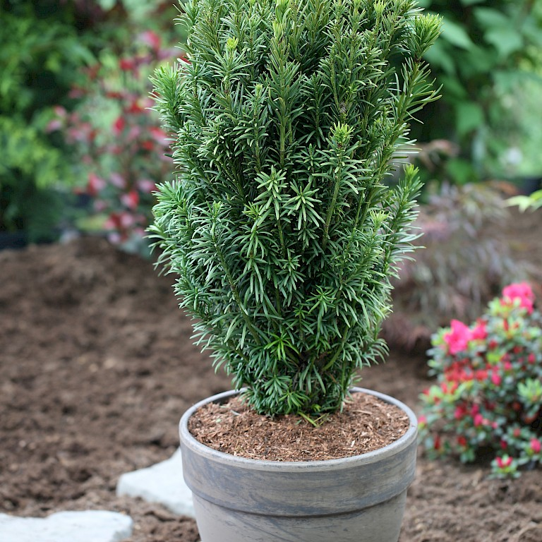 Cephalotaxus harringtonii 'Fastigiata'