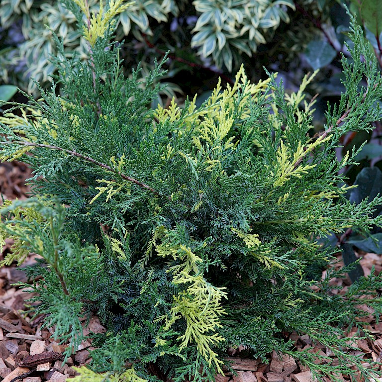 Juniperus chinensis 'Blue and Gold'