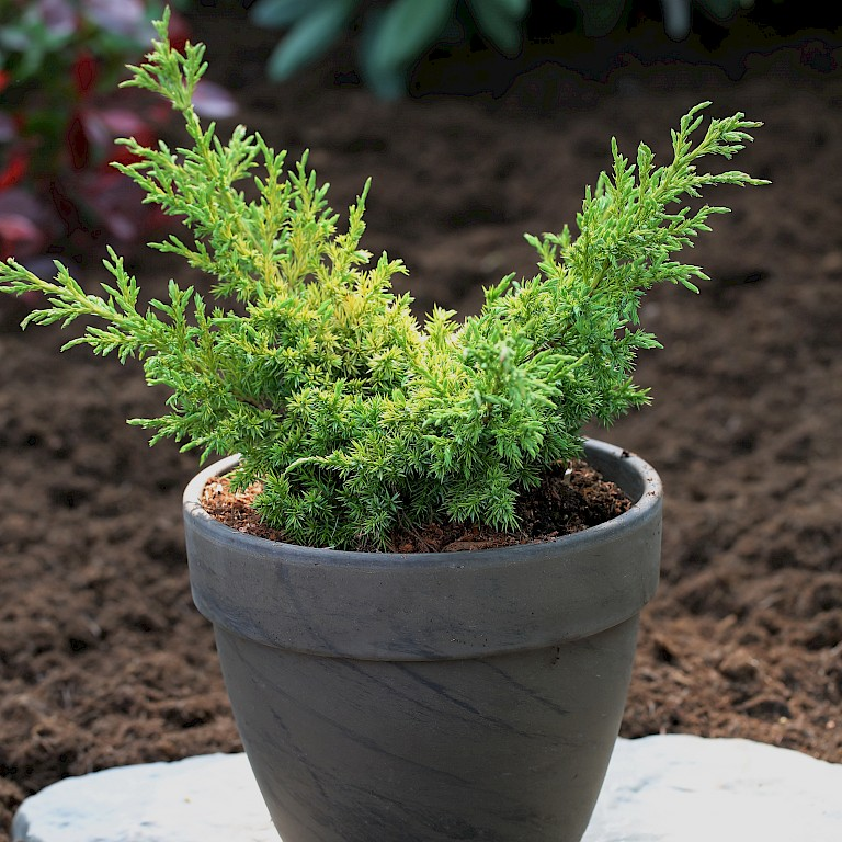 Juniperus chinensis 'Goldfern'