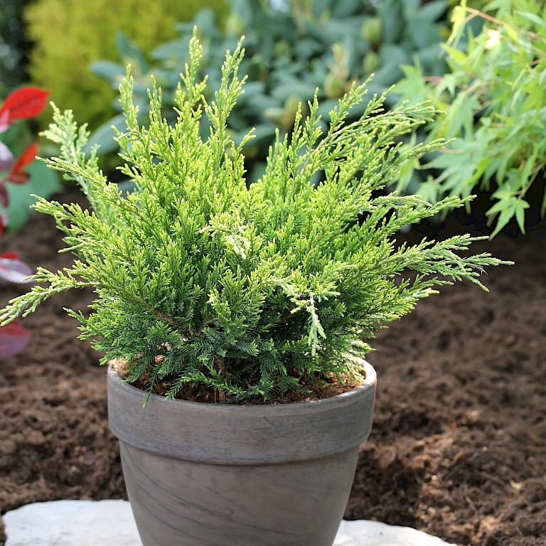 Juniperus chinensis 'Mint Julep'