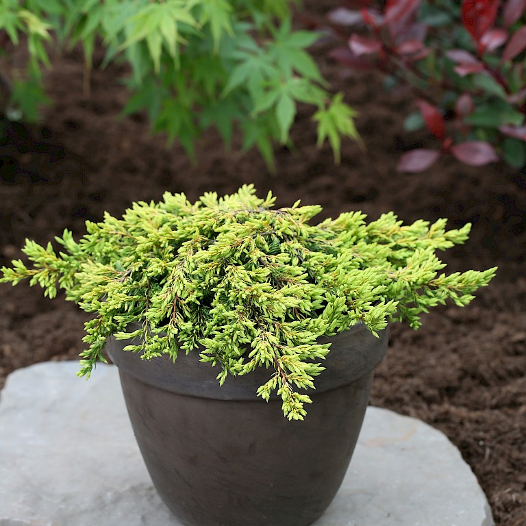 Juniperus communis 'Goldschatz'