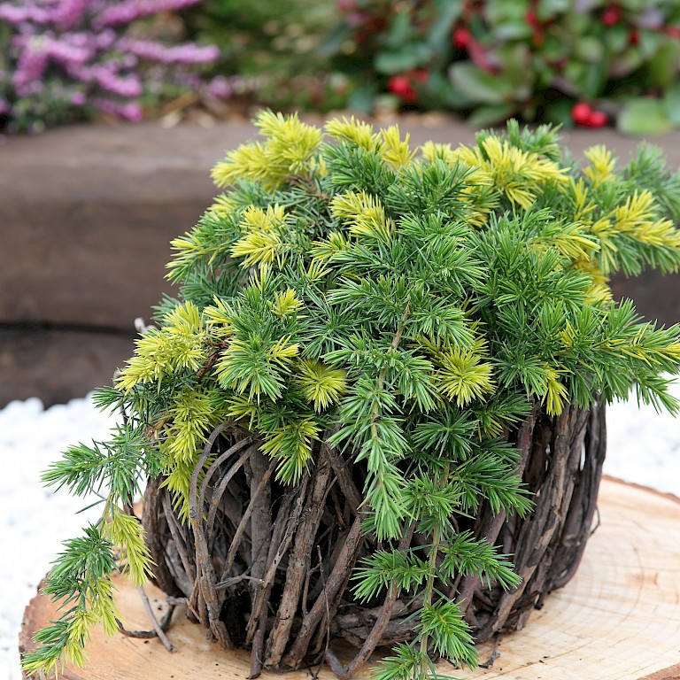 Juniperus conferta 'Golden Wings'