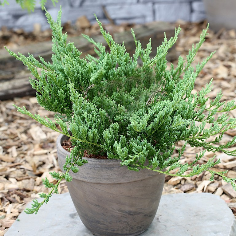 Juniperus horizontalis 'Blue Chip'