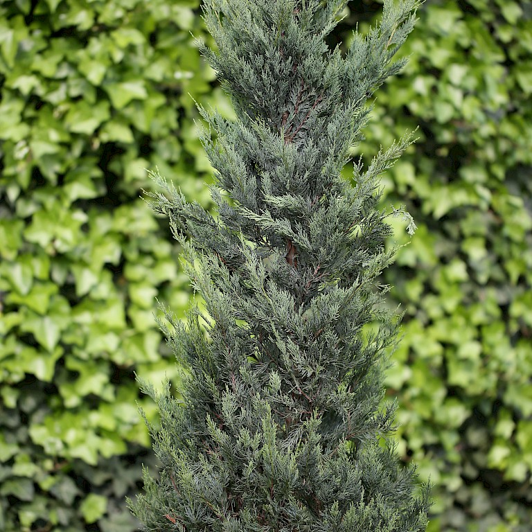 Juniperus virginiana 'Moonglow'
