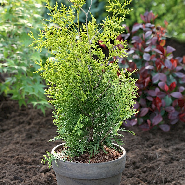Thuja occidentalis 'Golden Brabant' ®