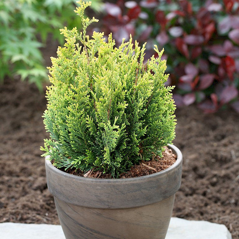 Thuja plicata 'Little Boy' ®