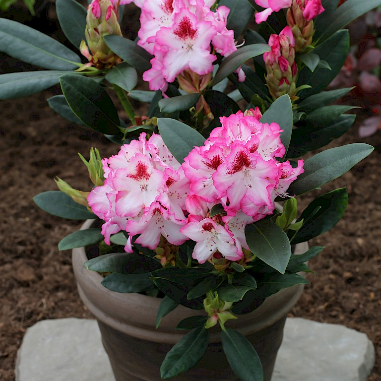 Rhododendron Hybride 'Hachmann's Charmant' -S-