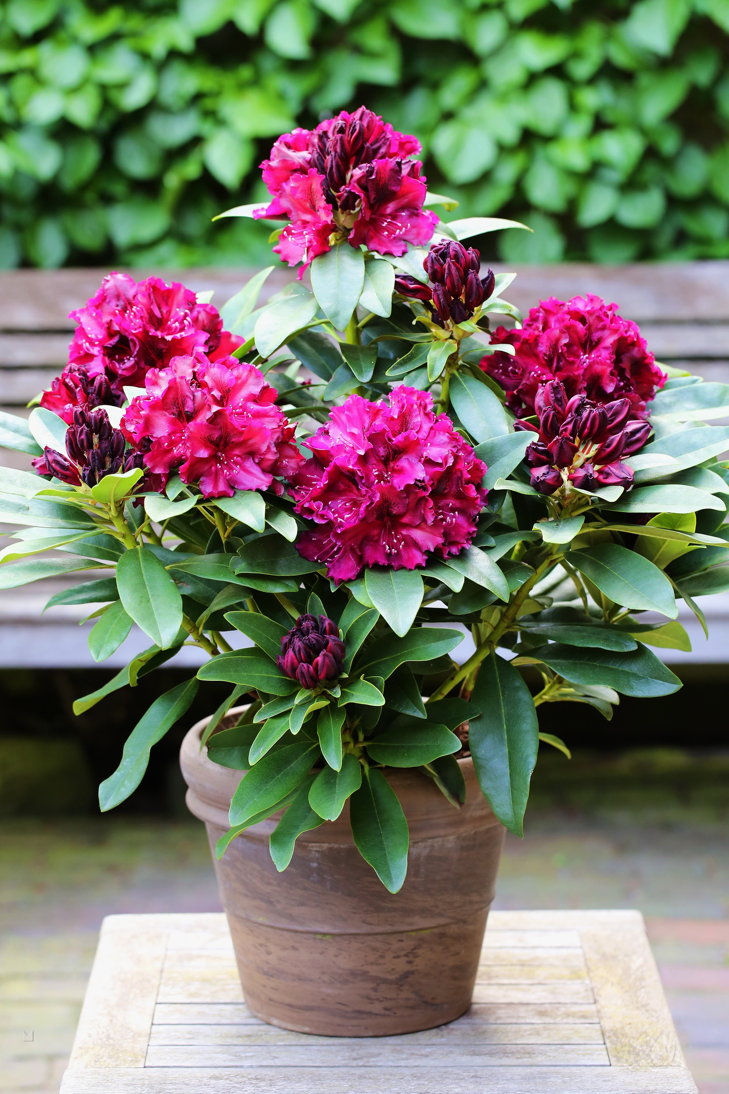 Rhododendron Hybride 'Midnight Beauty'