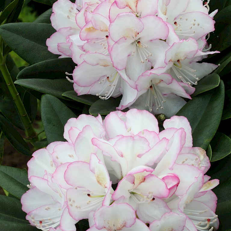 Rhododendron Hybride 'Picotee'