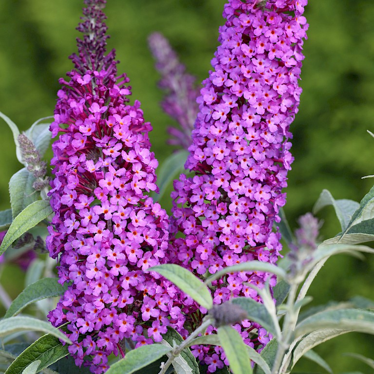 Buddleja davidii 'Buzz Pink Purple' ®