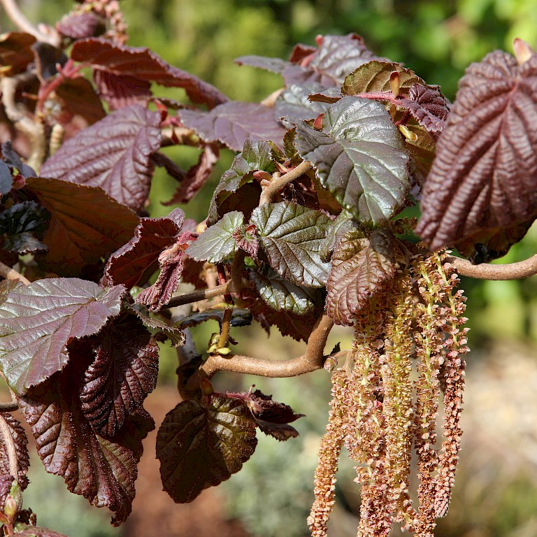 Corylus avellana 'Red Majestic' ®