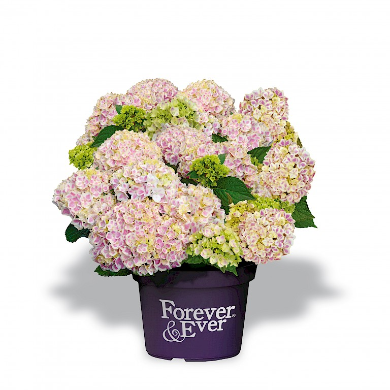 Hydrangea macrophylla 'Forever and Ever Peppermint' ®