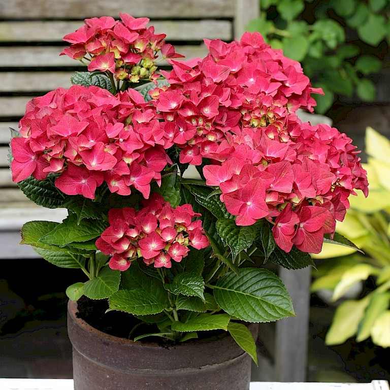 Hydrangea macrophylla 'Magical Sapphire' ®