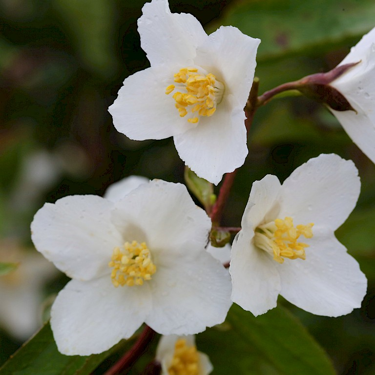 Philadelphus 'Starbright' ®