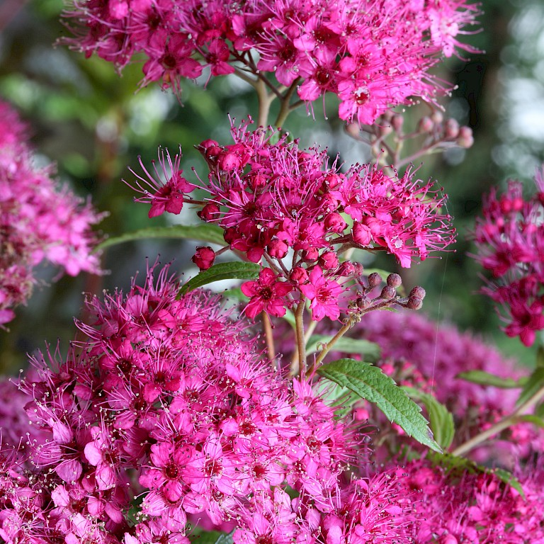 Spiraea x bumalda 'Anthony Waterer'