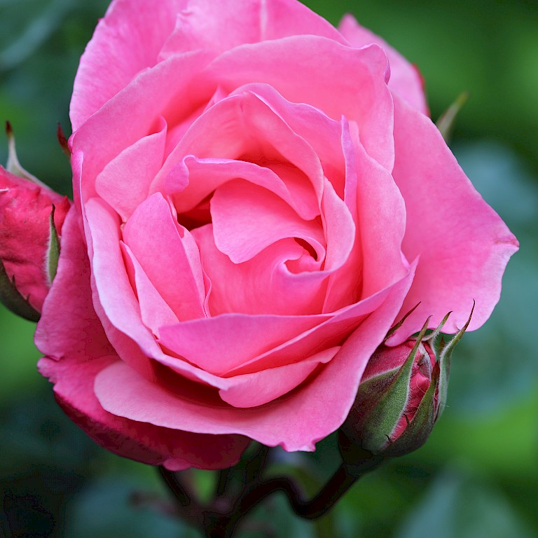 Rosa 'The Queen Elizabeth Rose' ®