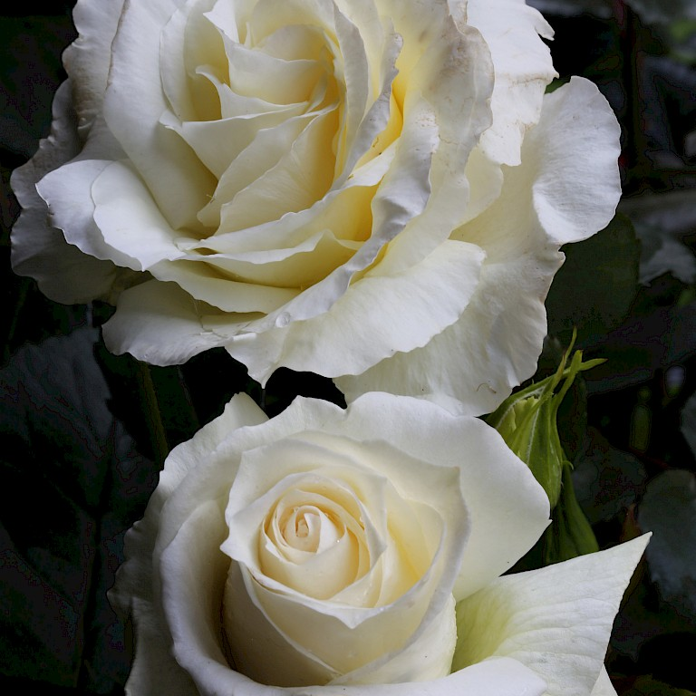 Rosa 'Isle of White'