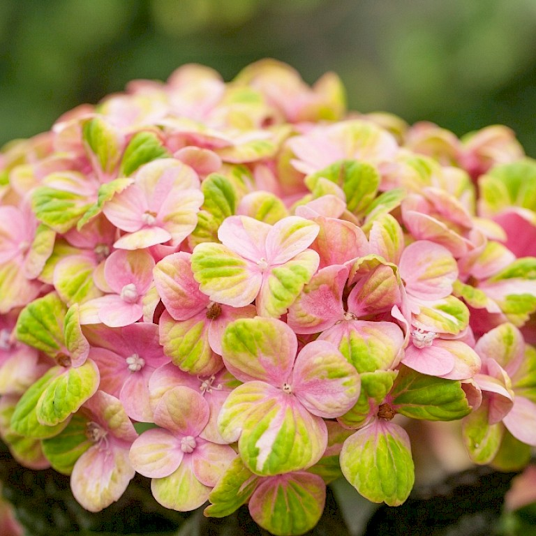 Hydrangea macrophylla 'Magical Coral Pink' ®
