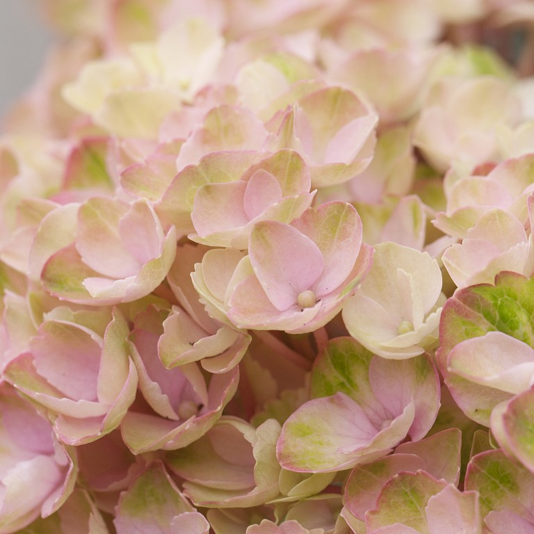 Hydrangea macrophylla 'Magical Revolution Pink' ®