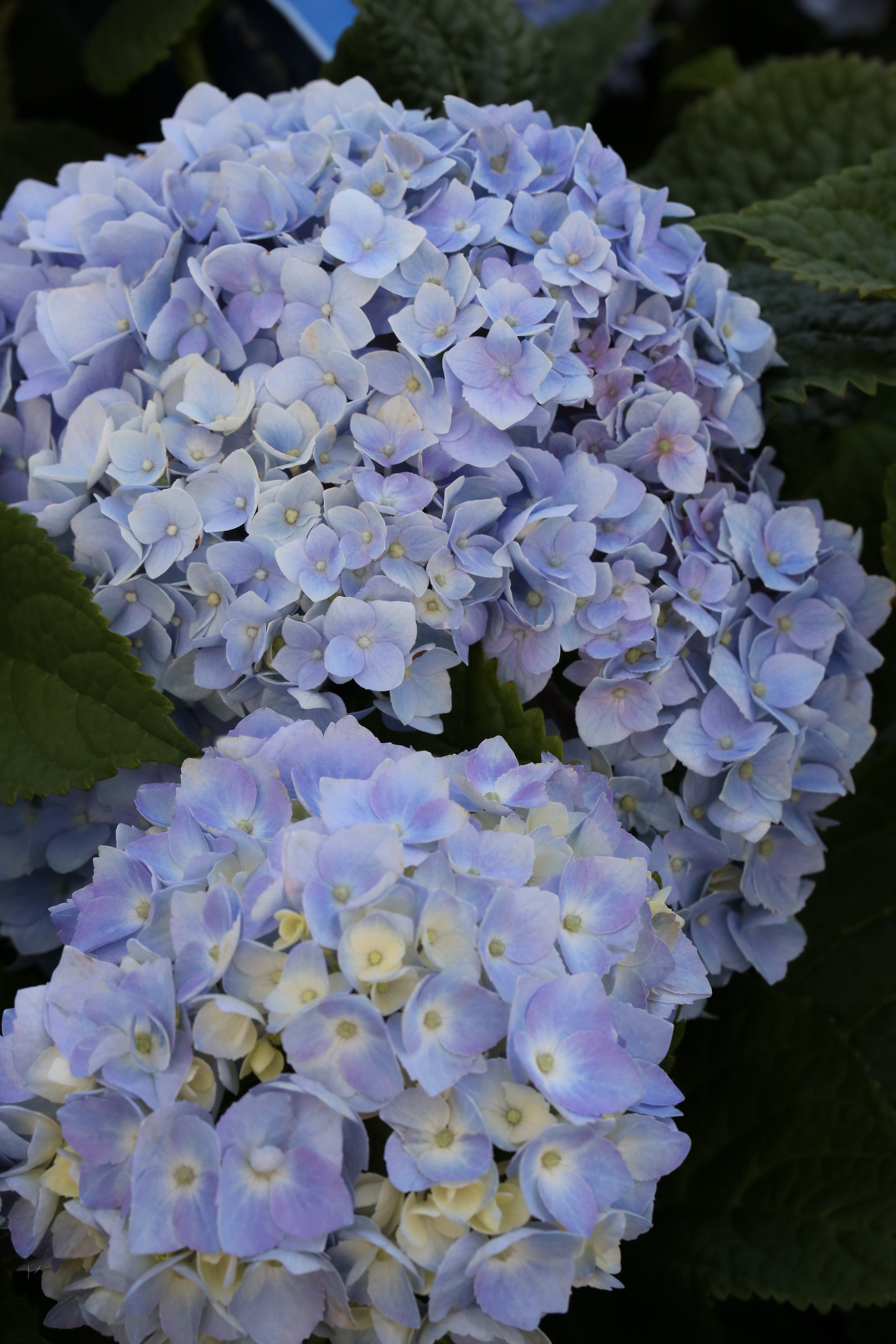 hydrangea macrophylla endless summer blue hortensie bcm baumschule christoph marken. Black Bedroom Furniture Sets. Home Design Ideas