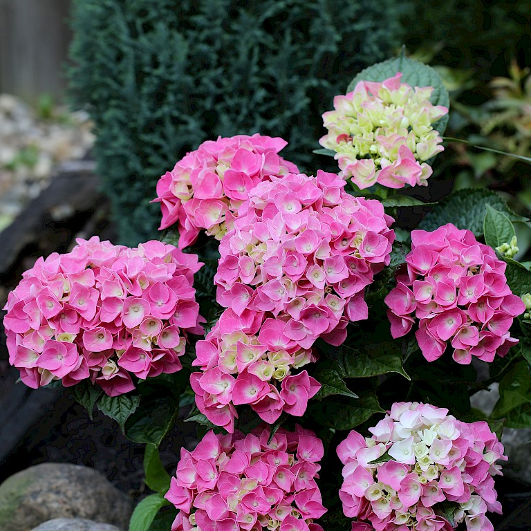 Hydrangea macrophylla 'Music Collection Pink Pop' ®