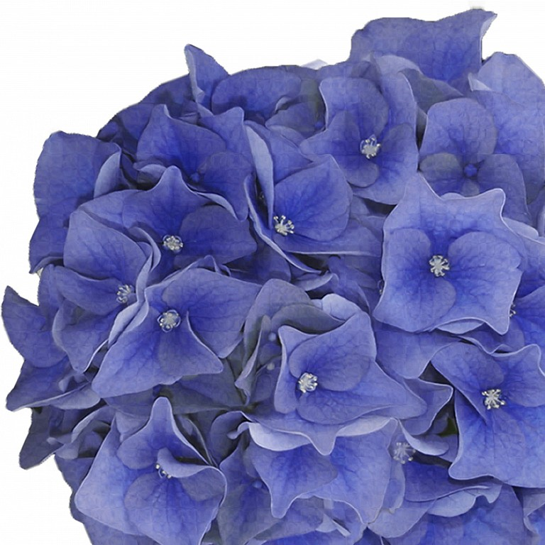 Hydrangea macrophylla 'Music Collection Blue Boogiewoogie' ®