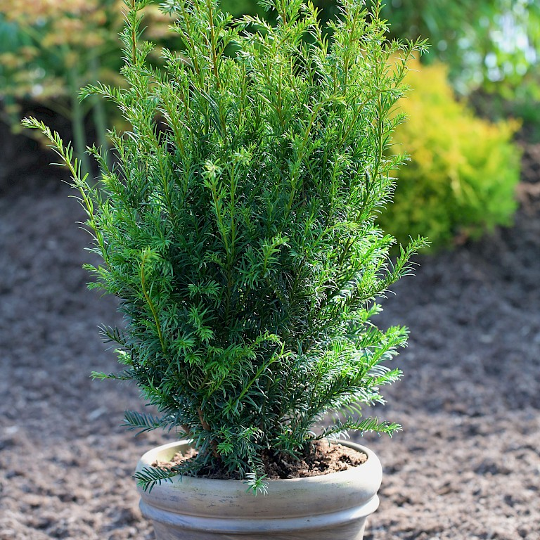 Taxus media 'Green Mountain'