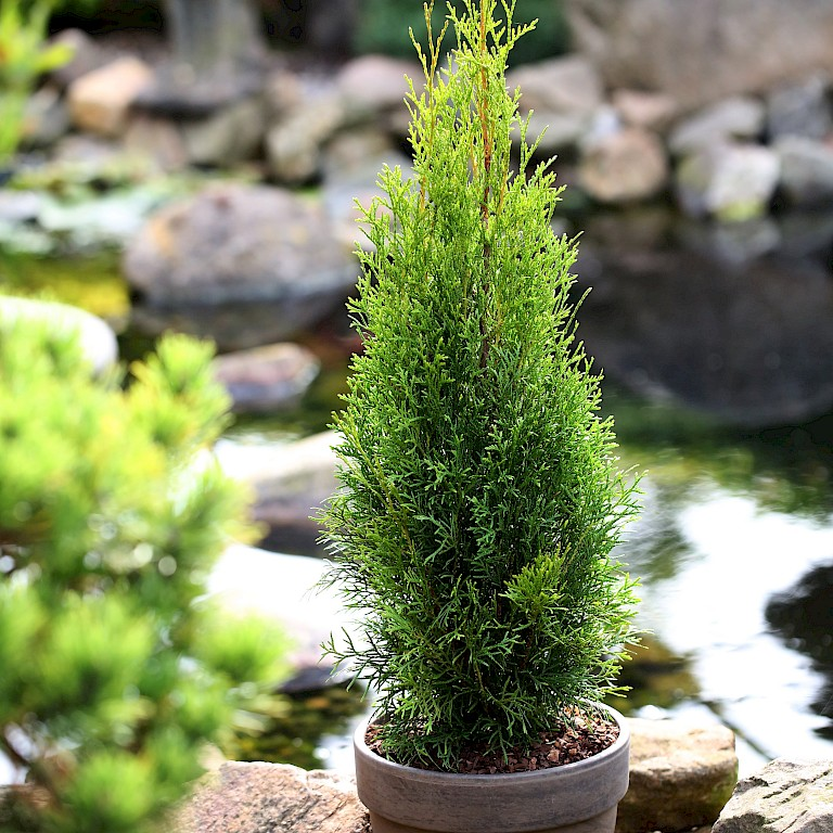 Thuja occidentalis 'Dark Embers' ®