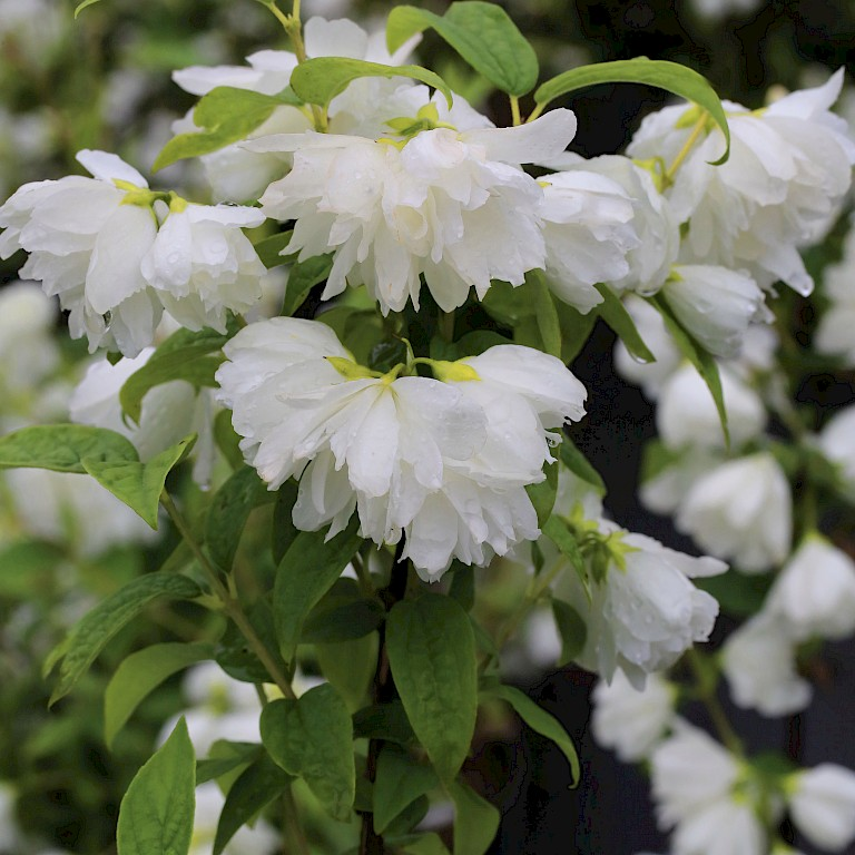 Philadelphus 'Snow White Sensation' ®