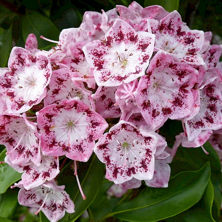 Kalmia latifolia 'Ideal'