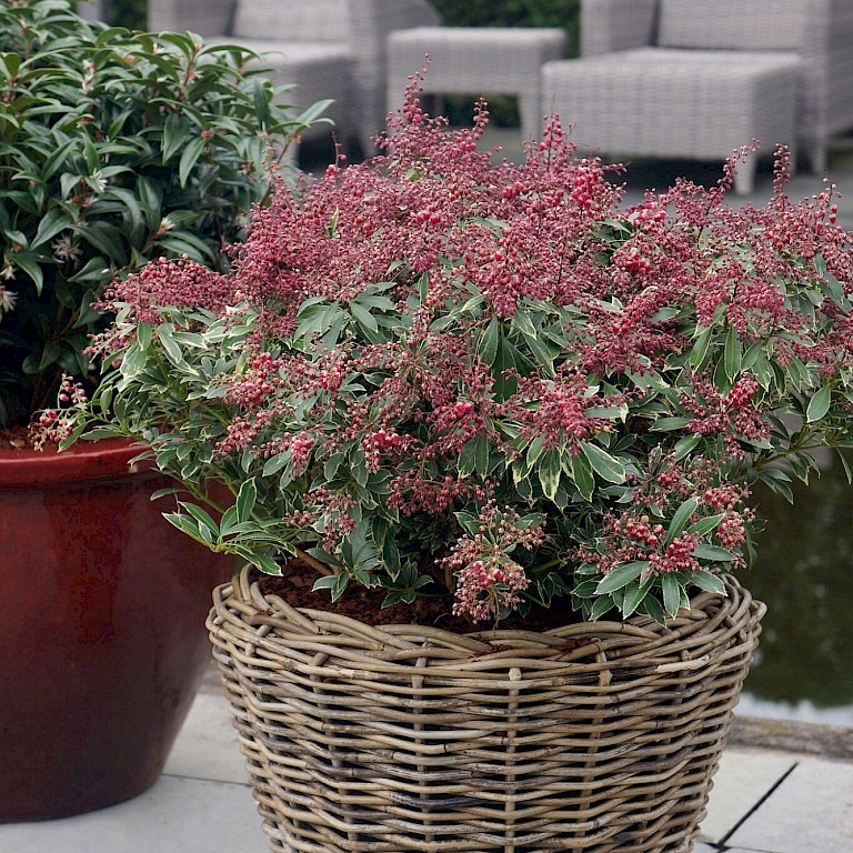 Pieris japonica 'Polar Passion' ®
