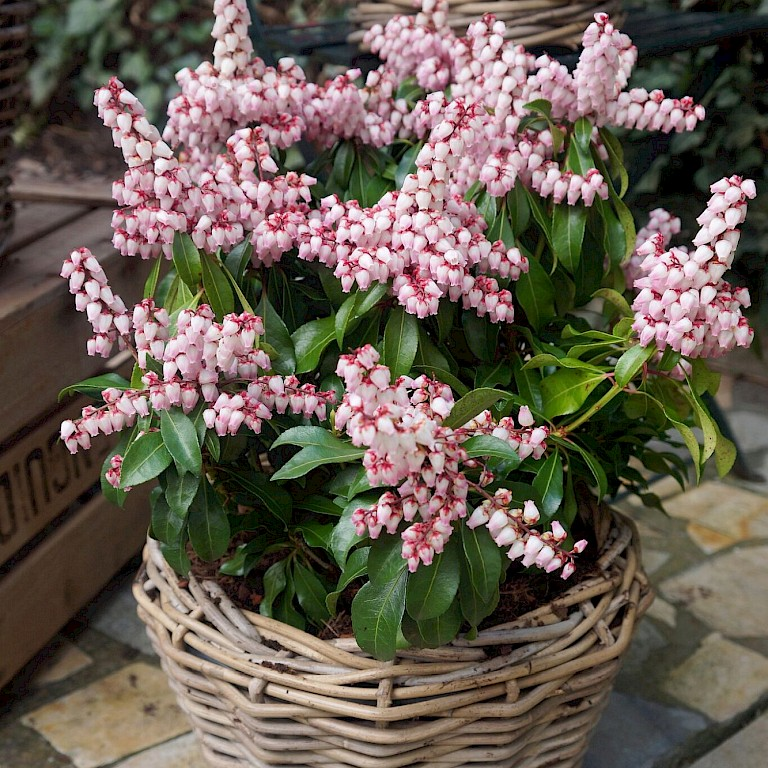 Pieris japonica 'Pink Passion' ®
