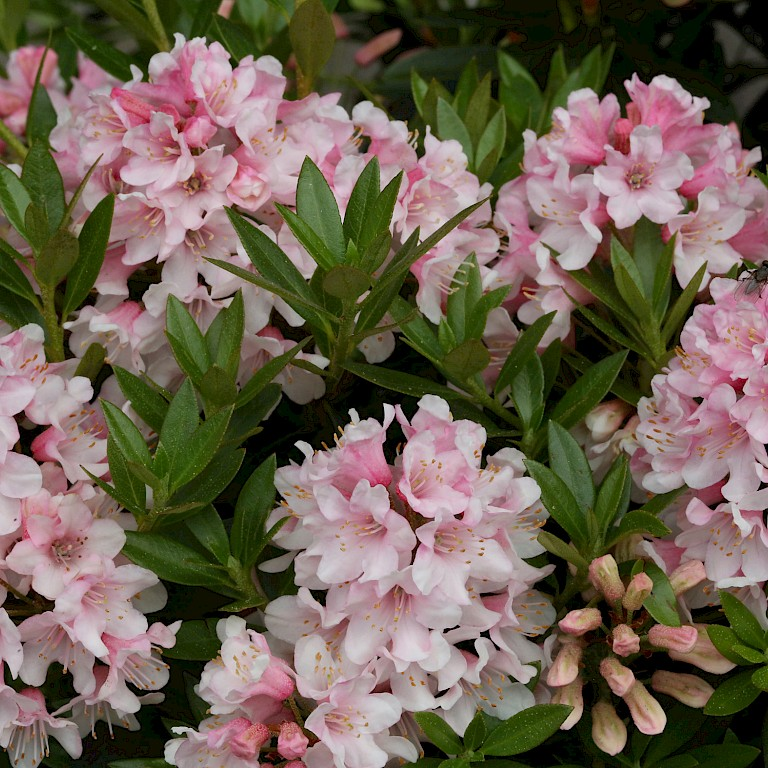 Rhododendron micranthum 'Bloombux' ®