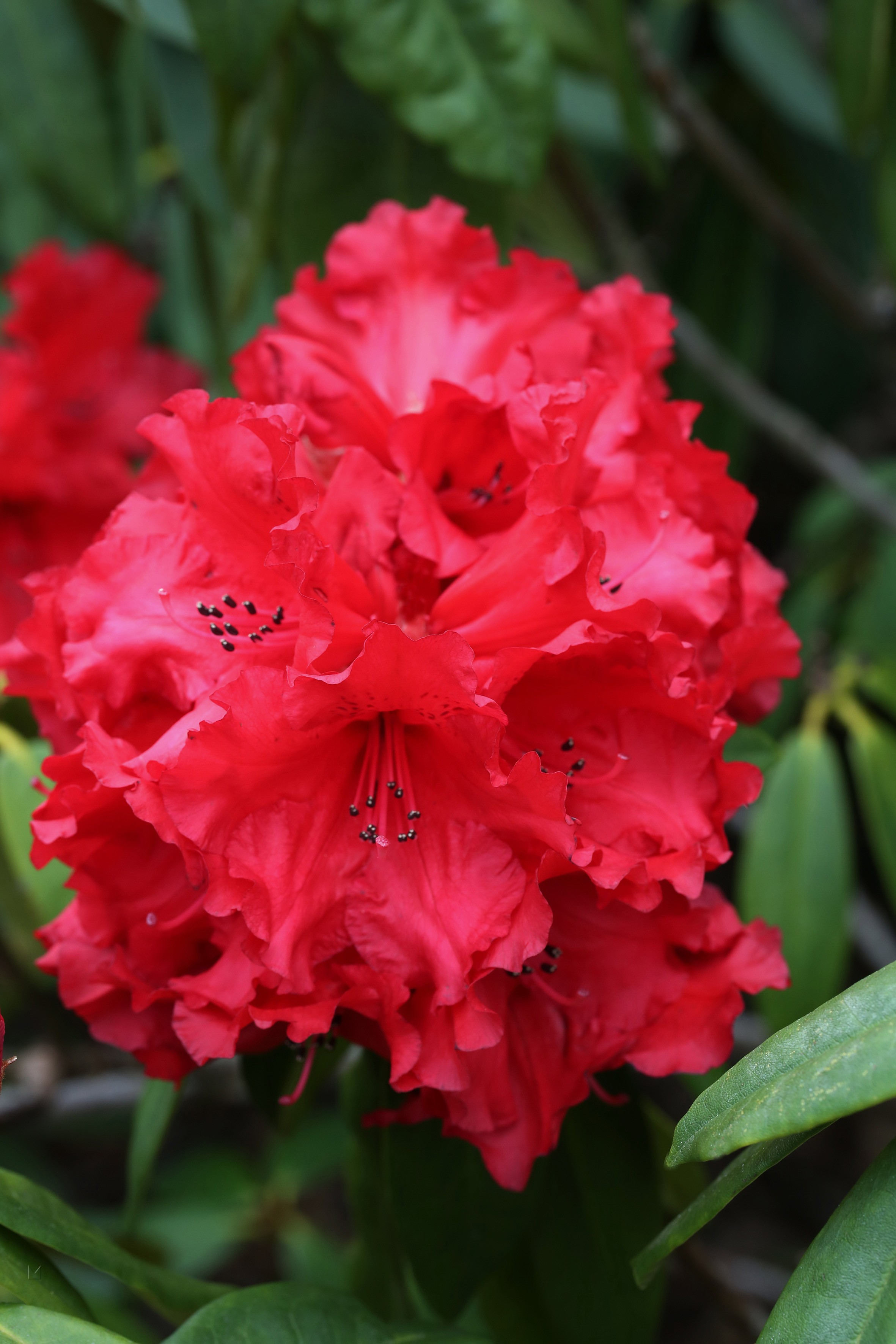 Rhododendron Hybride 'Red Jack'