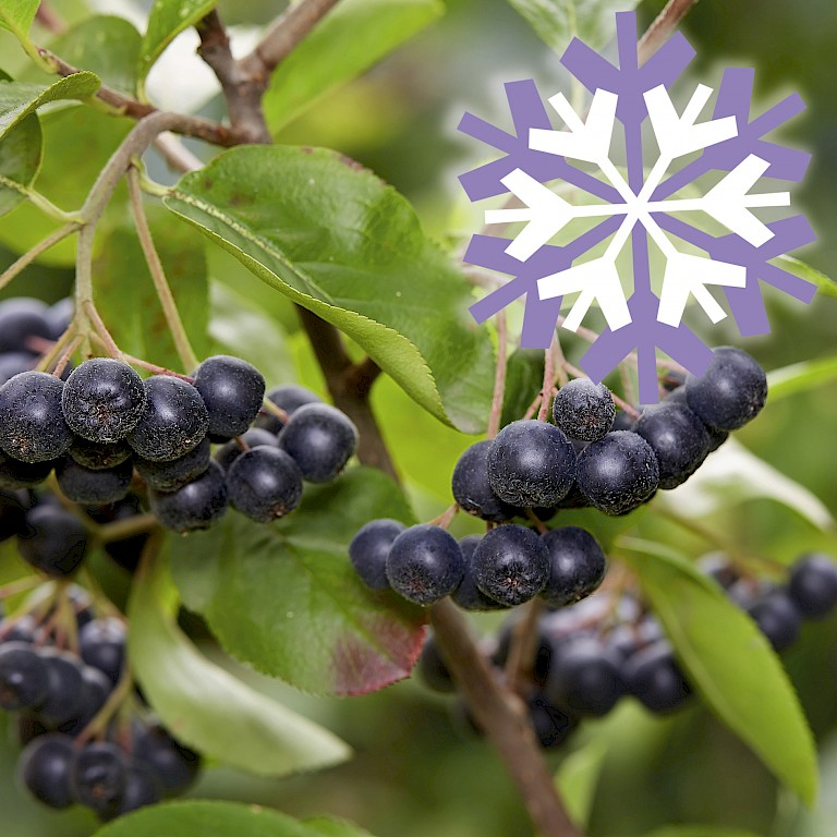 Polar Fruits® 'Chokeberry'