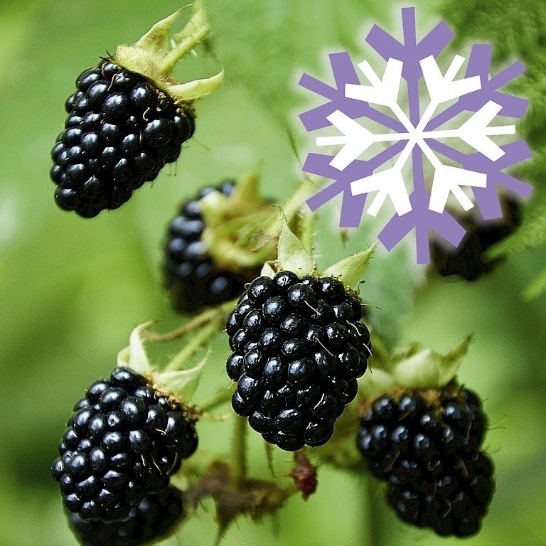 Polar Fruits® 'Blackberry'