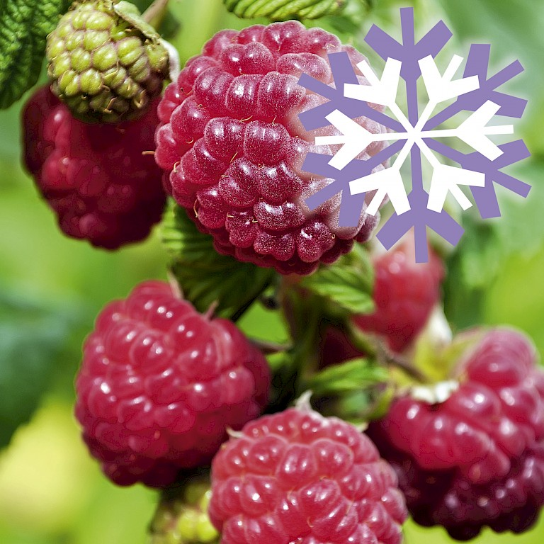 Polar Fruits® 'Raspberry'