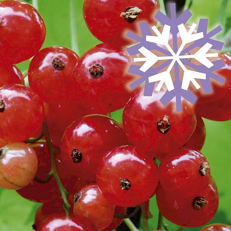 Polar Fruits® 'Red Currant Berry'