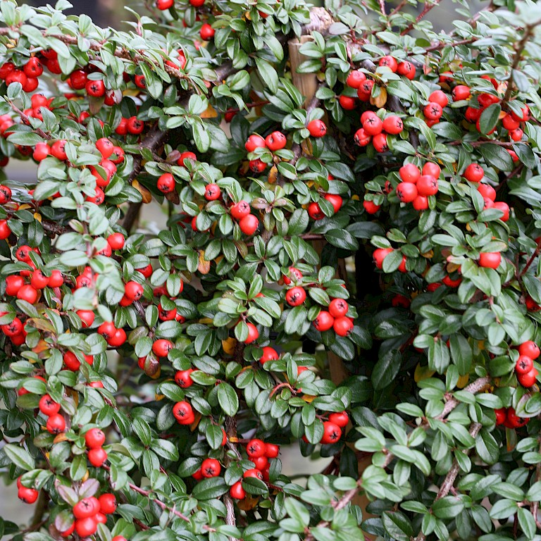 Cotoneaster dammeri in Varities