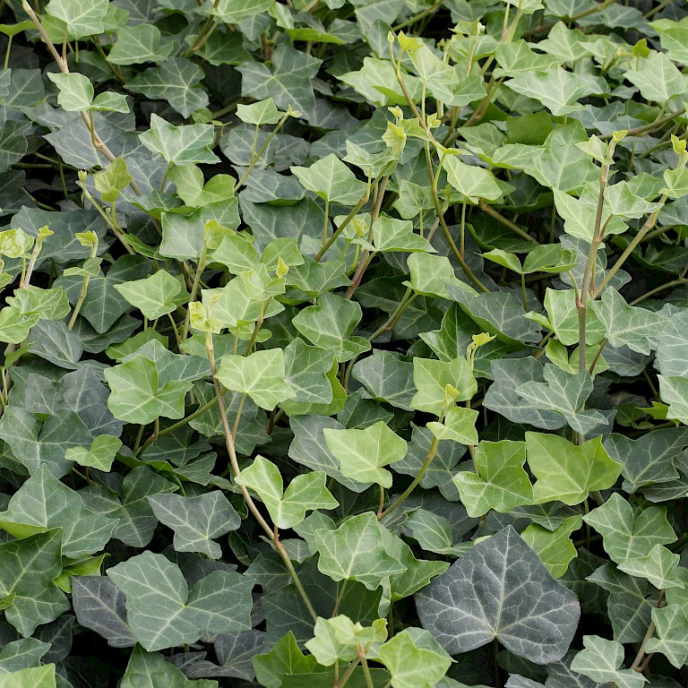 Hedera helix in varieties