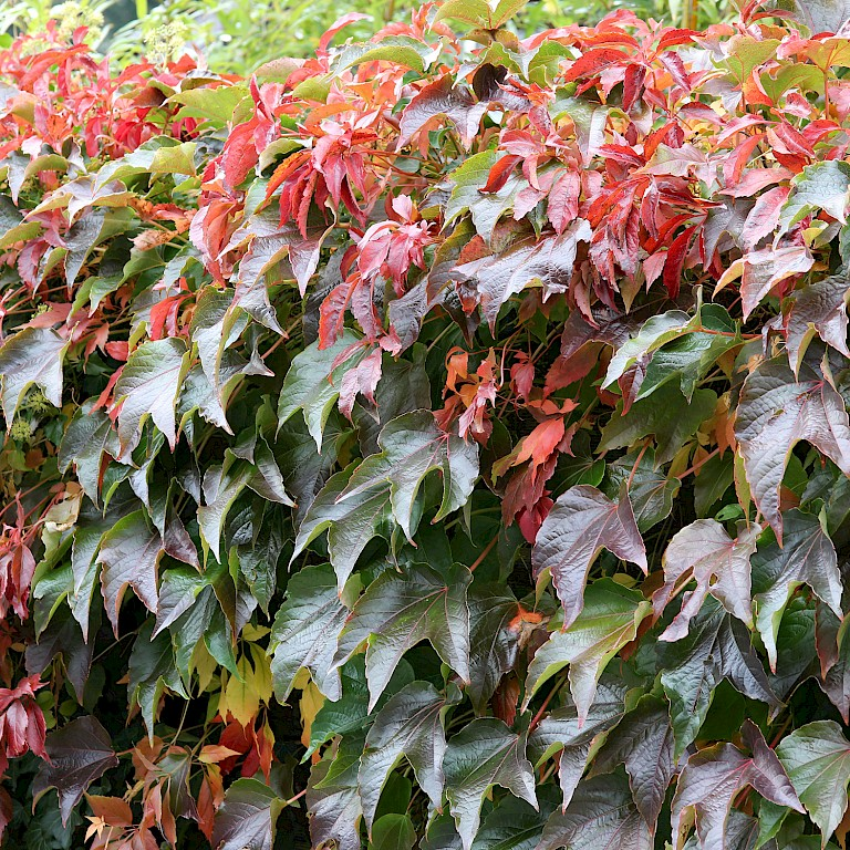 Parthenocissus in Sorten