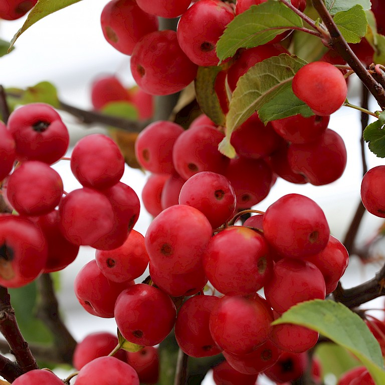 Malus hybride 'Red Sentinel'