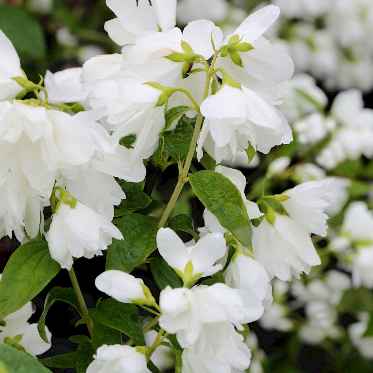 Philadelphus 'Little White Love' ®