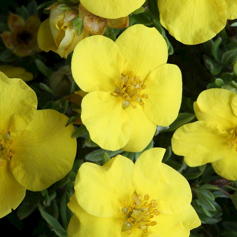Potentilla fruticosa' Goldstar'
