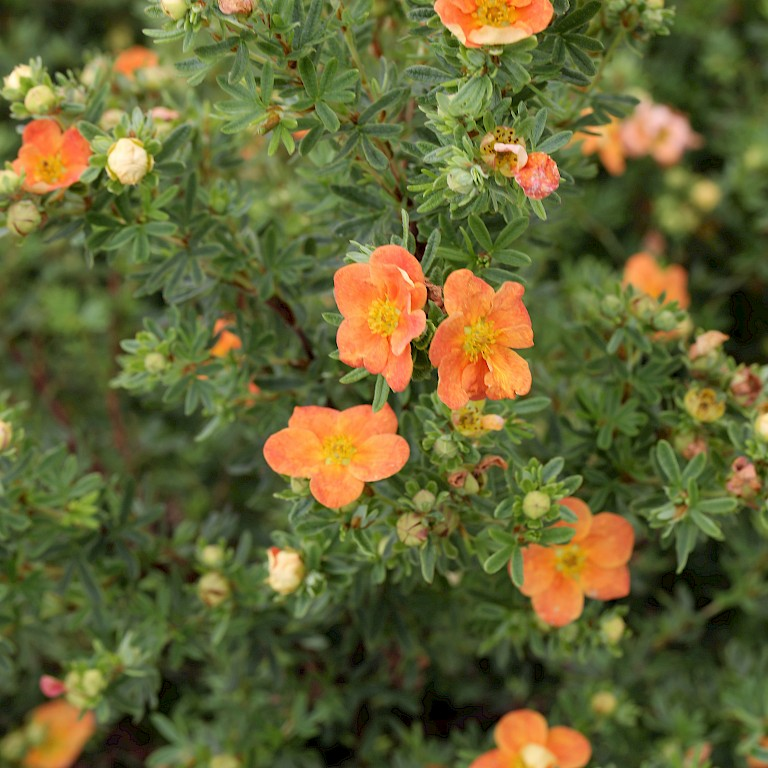 Potentilla	fruticosa 'Marian Red Robin' ®