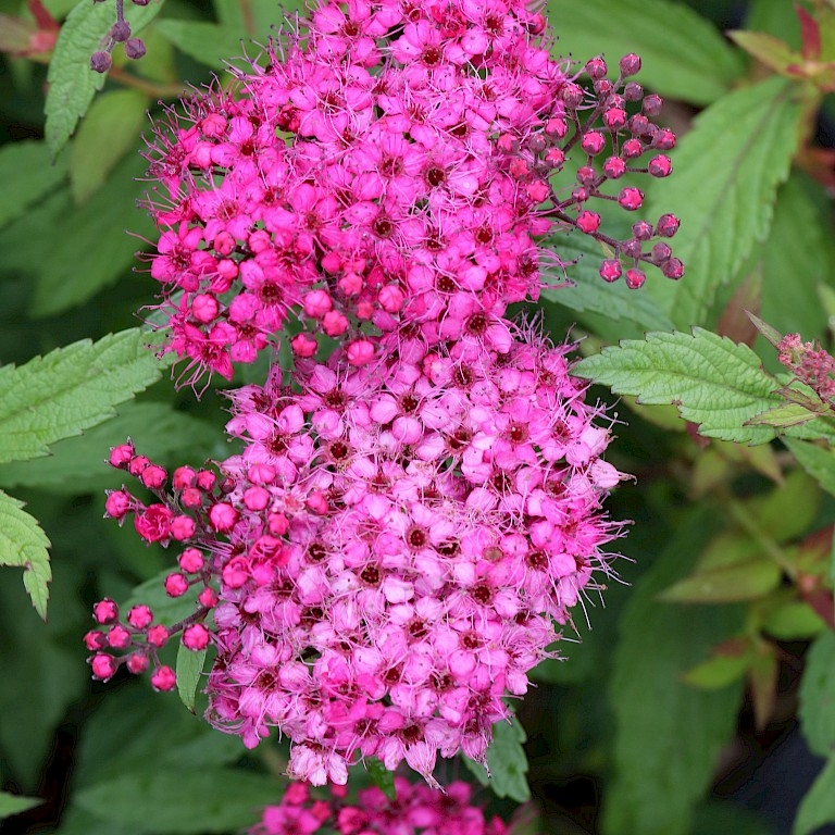 Spiraea japonica 'Darts Red'